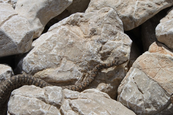 Un serpent à Nemrut Dagi