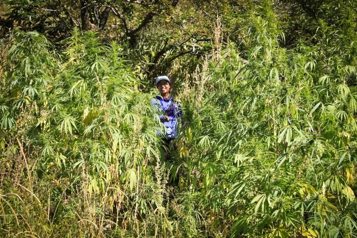 Champ de marijuana dans le Gorges du Saut du Tigre