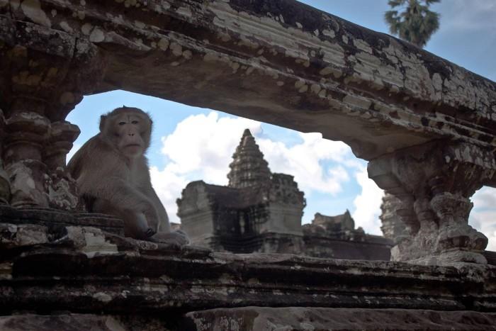 Singe à Angkor Wat