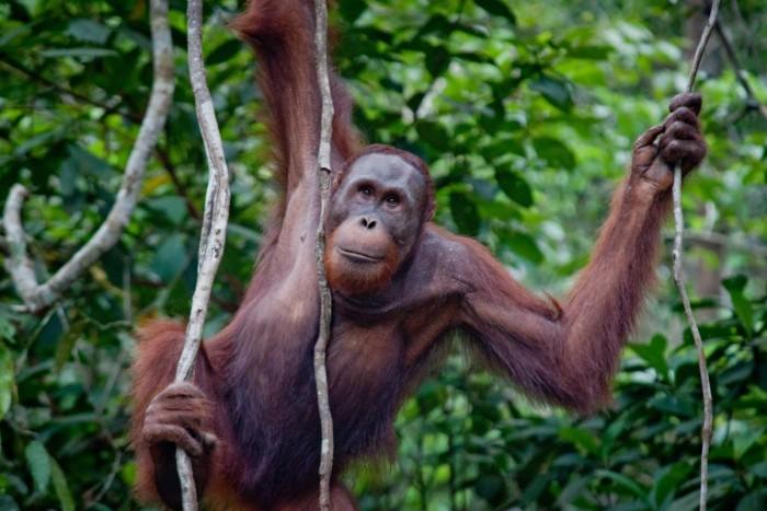 Un orang-outan femelle
