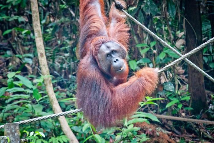 Un orang-outan mâle souriant à l'objectif