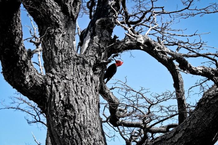 Pivert dans le parc Torres del Paine