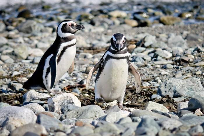 Couple de manchots sur l'île Magdalena, Patagonie chilienne